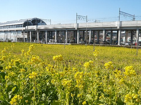 川和町の菜花 .jpg